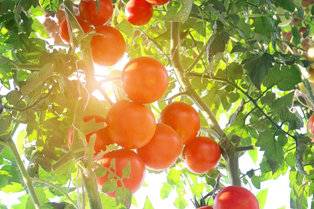 tomato-blog.jpg